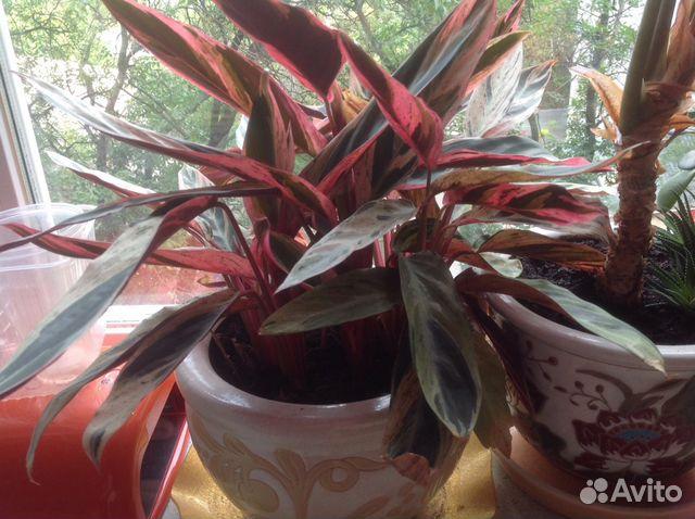 Пестрые листья у домашних цветов фото