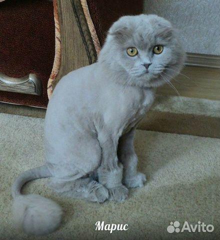 Вислоухие коты стрижки
