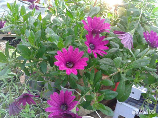 ампельные цветы показать фото