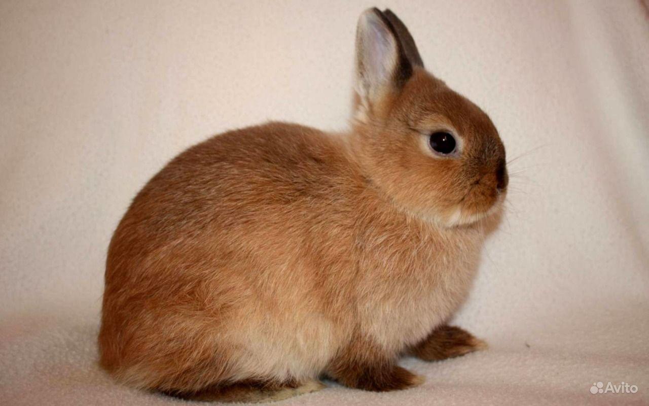 Карликовые декоративные кролики от заводчика в Москве - фотография № 4