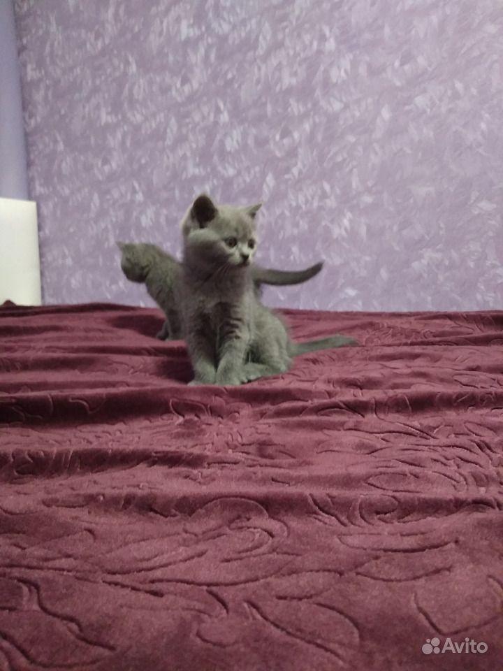 Шотландские котята в Горшечном - фотография № 3