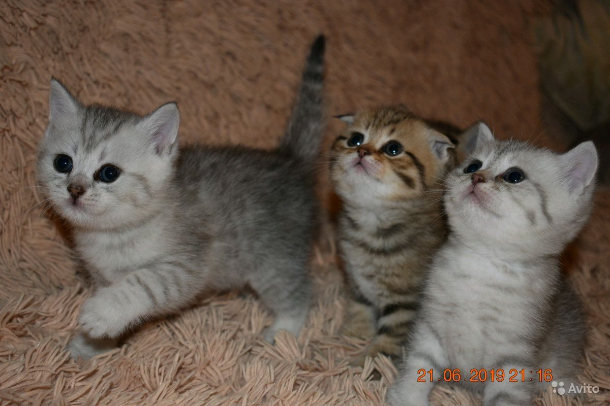 Шотландские котята в Пензе - фотография № 3