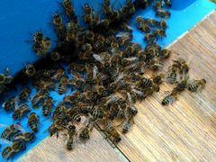 Зимовалые пчёлосемьи и пчелопакеты