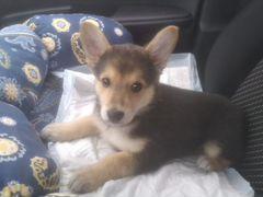 Дана щенок 2 месяца