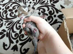 Продам котёнка шатландка 2 дня отроду за 1000
