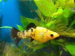Молинезии, желтые и черные, длина 3см, цена 30р