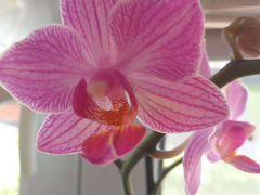 Орхидея фаленопсис с деткой