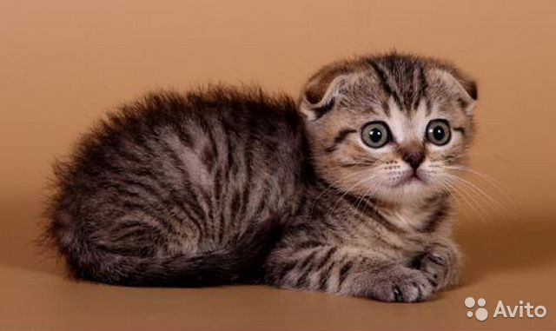 Вислоухие котята табби