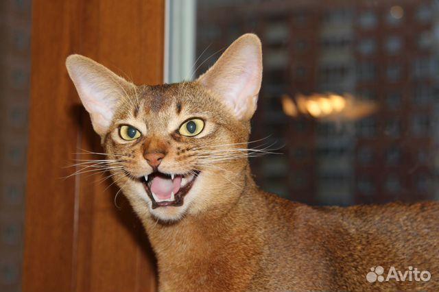 Кот интерчемпион