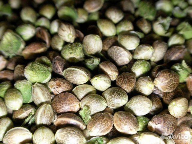 Купить семена конопли в нижний новгород элитные сорта семян конопли