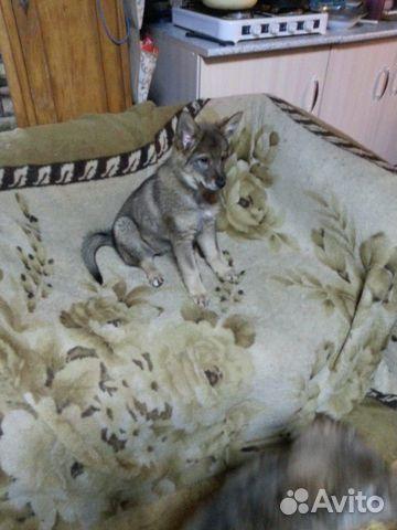 Отдадим щенков купить на Зозу.ру - фотография № 6