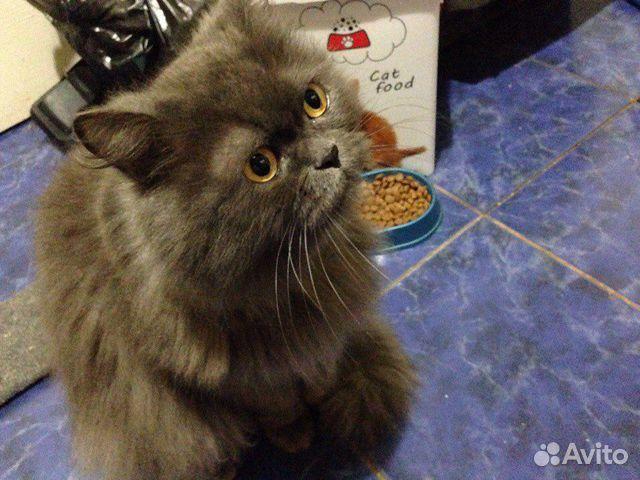 Персидские кошки и коты купить 4