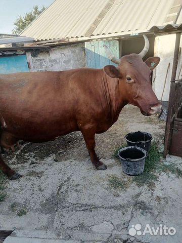 Продаю корову  купить 8