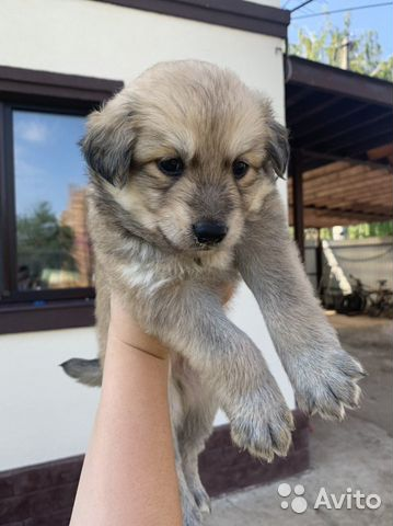 Собака  89277420768 купить 2