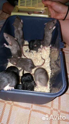 Крысята дамбо  89201636178 купить 5