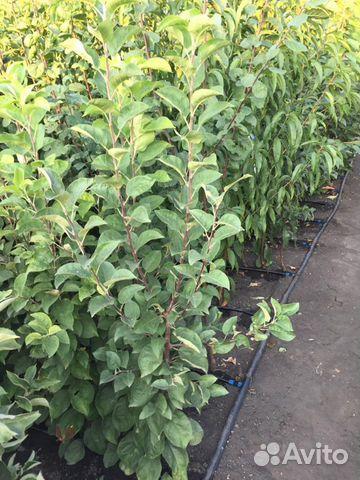 Саженцы деревьев, розы  89304046460 купить 3