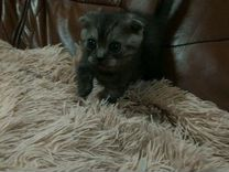Шотландские Вислоухие котята (2 мальчика)