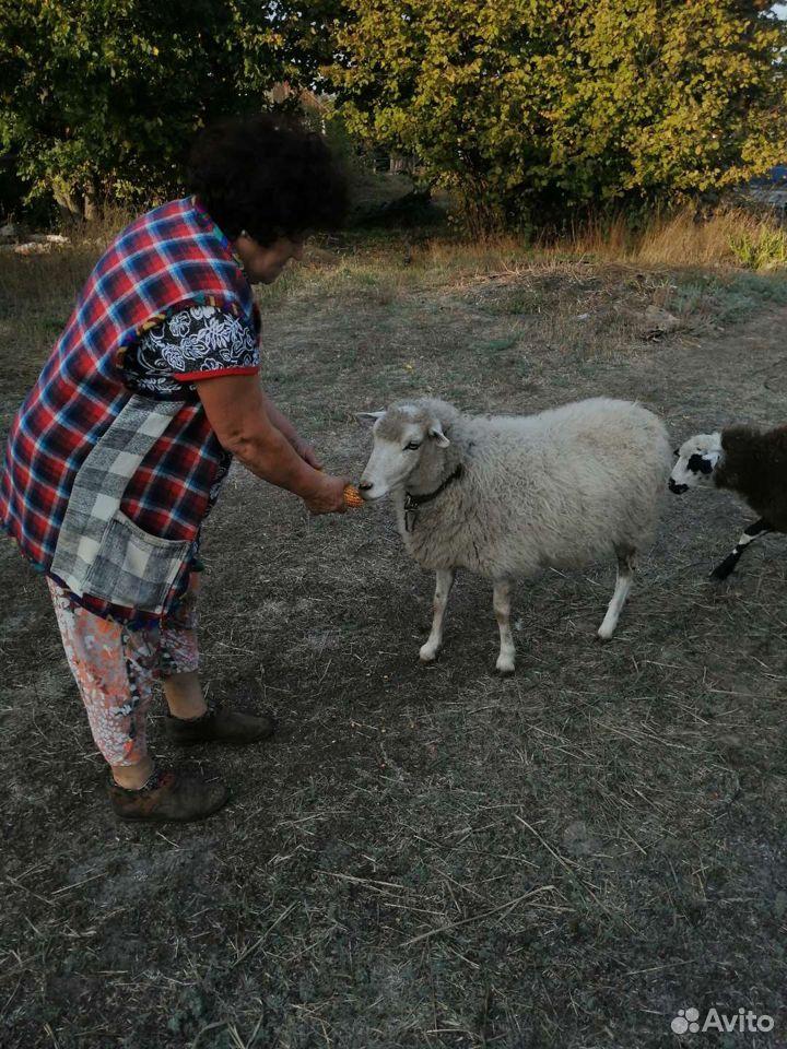 Овца  89537032673 купить 1
