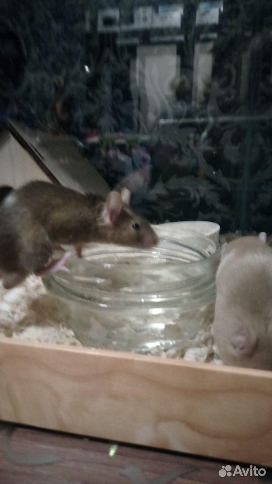 Декоративные мыши  89516004432 купить 1