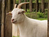 Продажа коз В Х.маяк саратовского района