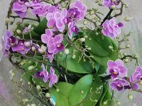 Орхидея Фаленопсис Сиреневая натур. Окрас