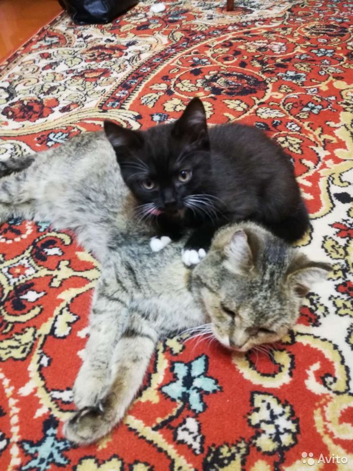 Котенок девочка  89831883735 купить 5