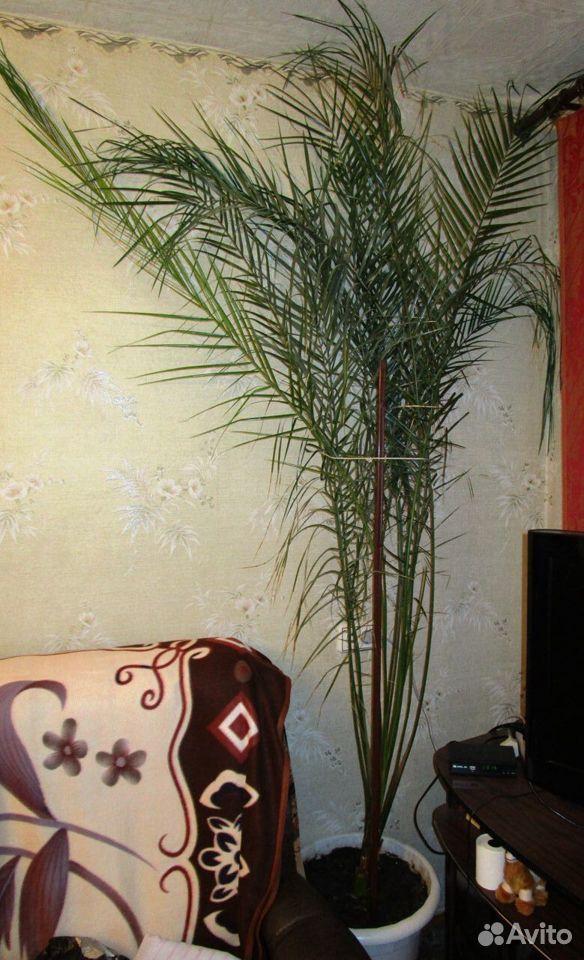Пальма Ропалостилис  89873173630 купить 1