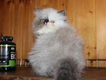 Гималайские персидские котятки