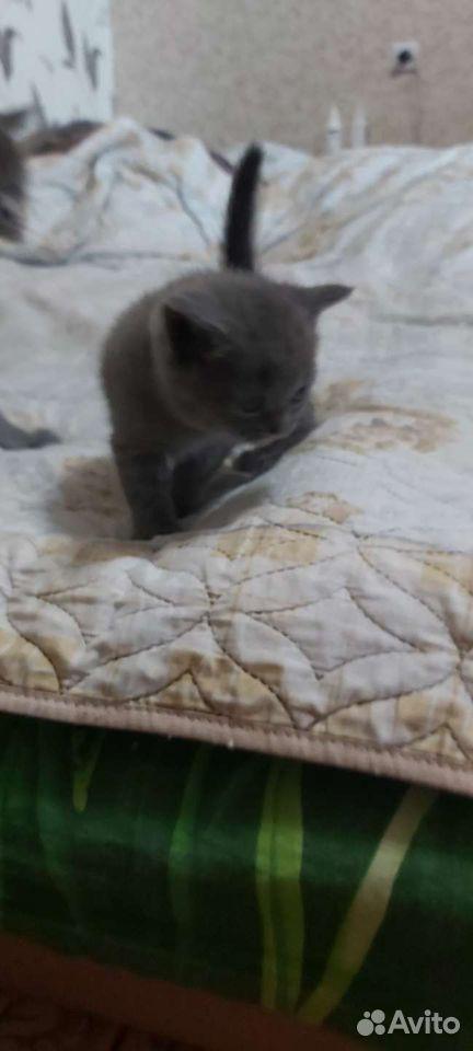 Кошка  89108547779 купить 2