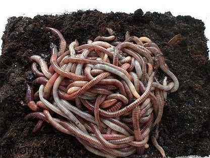 Продам червей