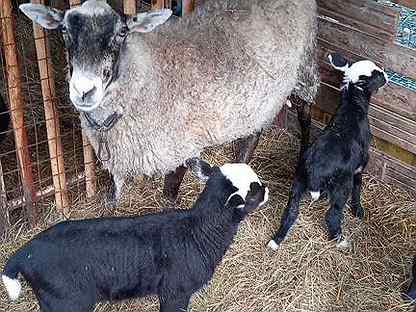 Продажа овец, ягнят (1.5-2мес, бараны и ярки)