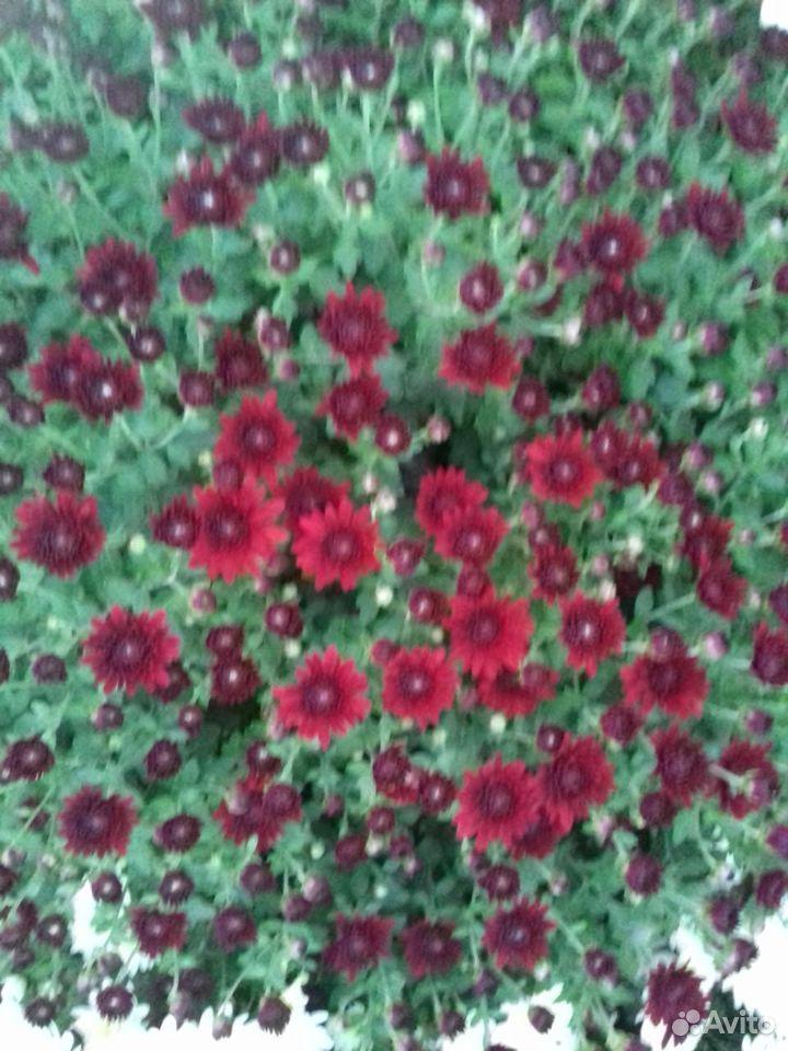 Хризантемы корейские шаровидные