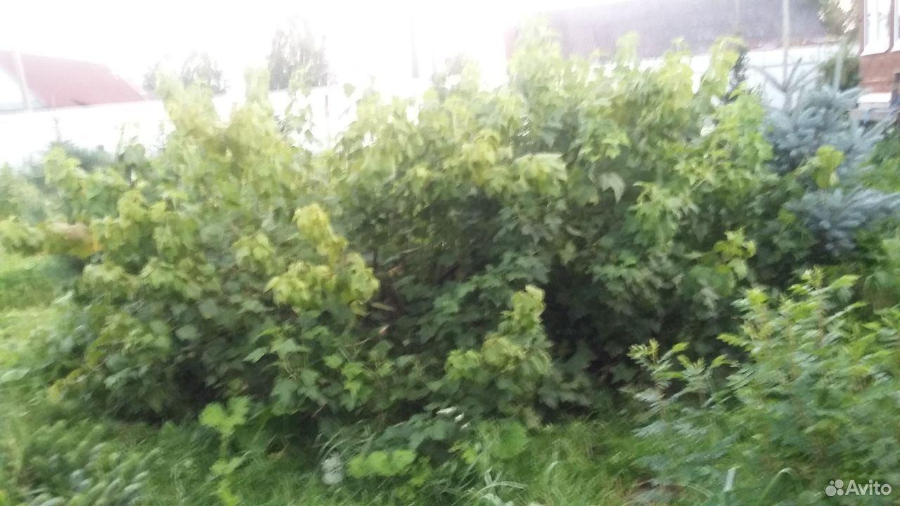 Саженцы Карельской стелющейся черной смородины  89159826282 купить 4