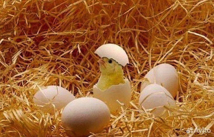 Пищевое яйцо